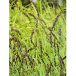 pluskwica gałęziasta Atropurpurea - duża doniczka !