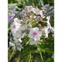 posłonek ogrodowy  Lawrenson`s Pink