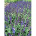 liliowiec ogrodowy Nob Hill - większa doniczka !