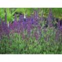 liliowiec ogrodowy Stella d`Oro  - duża doniczka !