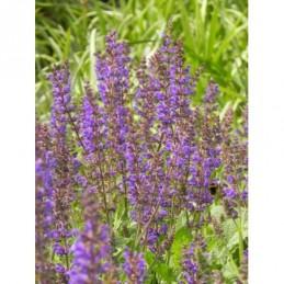 żurawka drobnokwiatowa Palace Purple - duża doniczka !