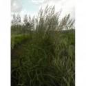 żurawka ogrodowa Lime Rockey - większa doniczka !