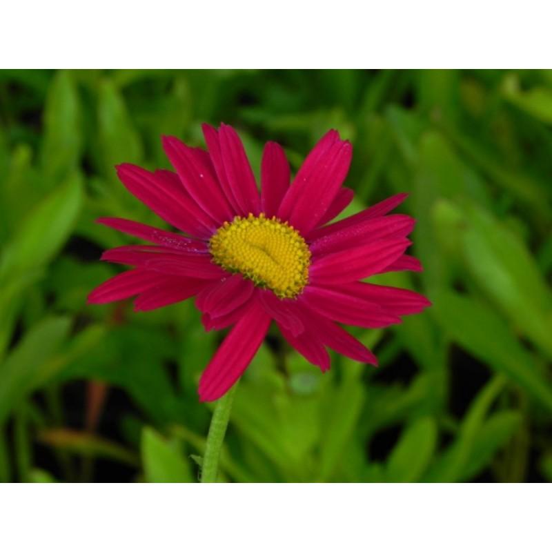 pysznogłówka ogrodowa Petit Pink Delight - większa doniczka !