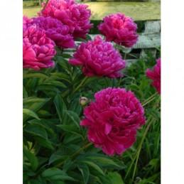 pysznogłówka ogrodowa Beauty of Cobham - większa doniczka !