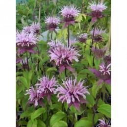 płomyk szydlasty Purple Beauty