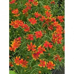 aster nowobelgijski Crimson Brocade - większa doniczka !
