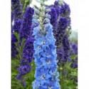 żagwin ogrodowy Royal Blue