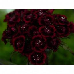 żagwin ogrodowy Royal Violet