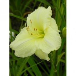 liliowiec ogrodowy Joan...
