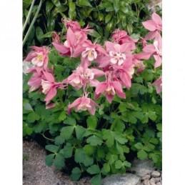orlik błękinty Spring Magic® F1 Rose & White - doniczka 1,5 l