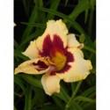 pluskwica sercolistna var. Cordifolia - doniczka 2,0 l