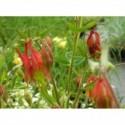 pierwiosnek ząbkowany Lilac  - doniczka 0,5 l