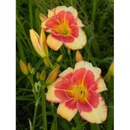 złocień różowy Robinson Red  - doniczka 0,5 l