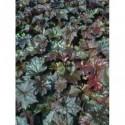malwa różowa Chaters Double Scarlet  - doniczka 2,0 l