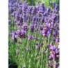 lawenda wąskolistna Hidcote - doniczka 1,5 l