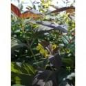 rudbekia naga Hortensia  - doniczka 1,0 l