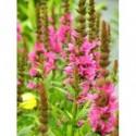 liliowiec ogrodowy Summer Wine  - doniczka 2,0 l