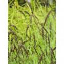 turzyca palmowa   - doniczka 1,0 l
