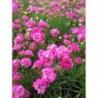 zawciąg nadmorski Abbey Deep Rose - doniczka 0,5 l