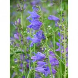 funkia ogrodowa Canadian Blue  - doniczka 1,0 l