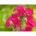 posłonek ogrodowy  Lawrenson`s Pink  - doniczka 0,5 l