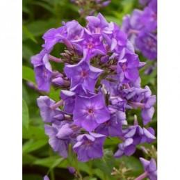 płomyk wiechowaty Purple...