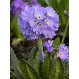 pierwiosnek ząbkowany Lilac...
