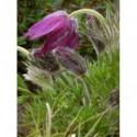 płomyk wiechowaty Purple Kiss®  - doniczka 1,0 l