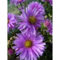 liliowiec ogrodowy Stella d`Oro   - doniczka 1,0 l