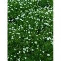 pysznogłówka ogrodowa Beauty of Cobham - doniczka 3,0 l