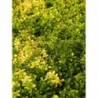 macierzanka cytrynowa Doone Valley - doniczka 0,5 l