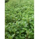 złocień ogrodowy Snow Cap  - doniczka 1,5 l
