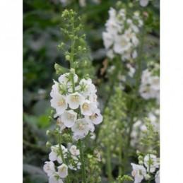 dziewanna fioletowa White Bride - doniczka 1,5 l
