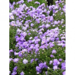 aster krzaczasty Lady in...