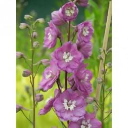 jeżówka purpurowa Doubledecker  - doniczka 2,0 l