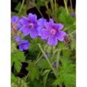 płomyk szydlasty Purple Beauty - doniczka 0,5 l