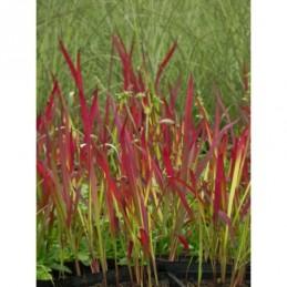 sadziec plamisty Atropurpureum  - doniczka 2,0 l