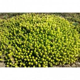lawenda wąskolistna Rosea - doniczka 1,5 l