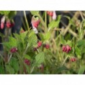 aster nowobelgijski Crimson Brocade  - doniczka 2,0 l