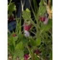 pysznogłówka ogrodowa Beauty of Cobham  - doniczka 1,0 l