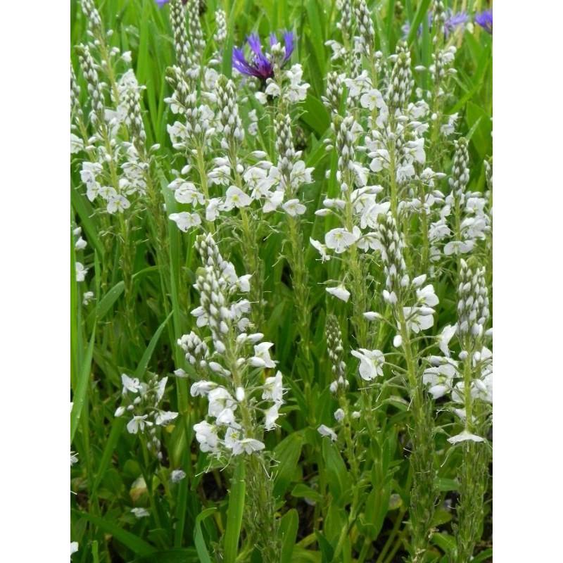 pysznogłówka ogrodowa Cambridge Scarlet  - doniczka 1,0 l