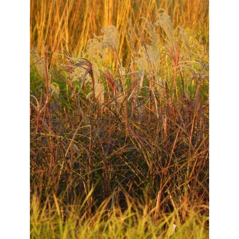 liliowiec ogrodowy Chicago Apache  - doniczka 2,0 l