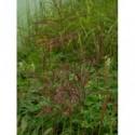 pysznogłówka ogrodowa Schneewittchen  - doniczka 2,0 l