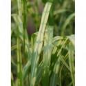 liliowiec ogrodowy Joan Senior  - doniczka 2,0 l
