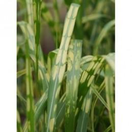 pysznogłówka ogrodowa Scorpion  - doniczka 1,0 l