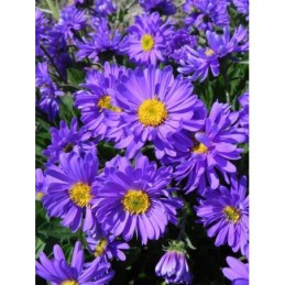 aster alpejski Violet -...