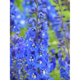 ostróżka ogrodowa Blue Bird...