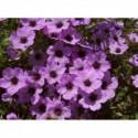 babka zwyczajna Purpurea  - doniczka 2,0 l