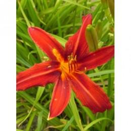 liliowiec ogrodowy Crimson...
