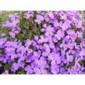 liatra kłosowa Floristan Violet  - doniczka 2,0 l